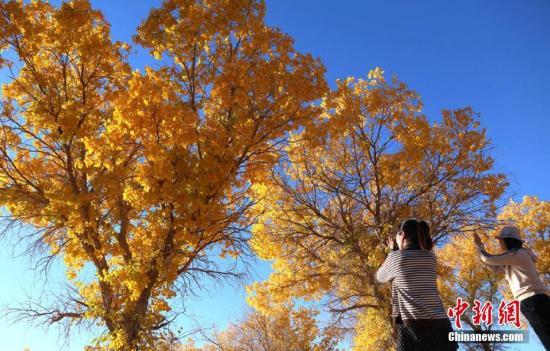 金秋十月,甘肃敦煌黄渠镇的胡杨林在秋色的沐浴下被染成金色,迎来了一年最美丽的时节,引众欣赏胡杨美景。李晓玲 摄