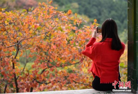 资料图:北京香山红叶。中新社发 湛超越 摄