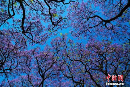 资料图片:随着天气转暖,南非进入春季,其标志性花卉蓝花楹也随之迎来最佳观赏期。图为南非首都比勒陀利亚街头蓝花楹景观。<a target='_blank' href='http://www-chinanews-com.alevel-zj.com/'>中新社</a>记者 王曦 摄
