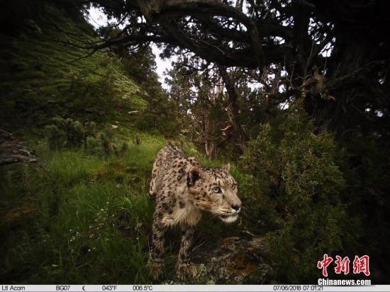 报告:全球雪豹60%的栖息地位于中国