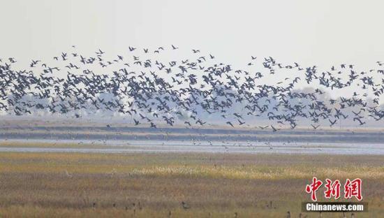 进入10月下旬以来,吉林镇赉莫莫格湿地陆续迎来南迁越冬候鸟。目前,湿地上空已经云集数万只候鸟。镇赉县地处松嫩平原,其境内的莫莫格国家级自然保护区是东亚候鸟迁徙通道上的重要停歇地。 潘晟昱 摄