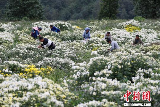菊农在地里采摘菊花。 贺俊怡 摄