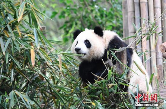 10月28日,成都大熊猫繁育研究基地的大熊猫们在熊猫乐园卖萌嬉戏,憨态可掬。 中新社记者 安源 摄
