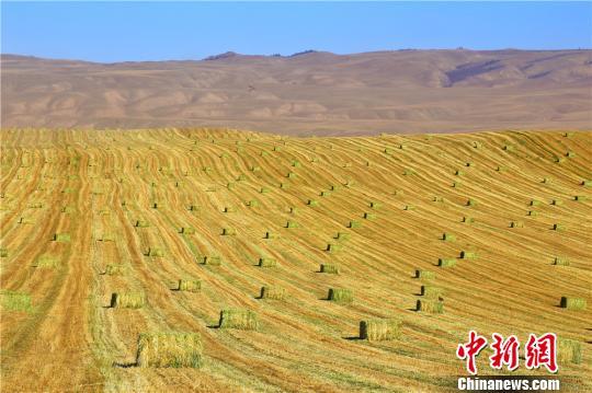 资料图 甘肃张掖山丹马场遍地金黄的麦田构成秋日丰收美景。 王超 摄