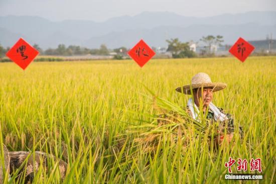 """10月24日,浙江省丽水市莲都区碧湖镇道士(田本),村民正在收割水稻。莲都地处瓯江中游,是浙江省丽水市唯一的市辖区。莲都生态优越,森林覆盖率77.5%。莲都产业绿色,初步走出了一条""""绿水青山就是金山银山""""绿色生态发展之路,创成全国休息农业和乡村旅游示范区、省农业社会化服务示范县、省农产品质量安全放心示范县等。/p中新社记者 陈冠言 摄"""