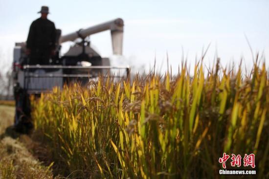 材料图:农人支割早稻,一台台支割机正在金黄的稻田中穿越,显现出一幅斑斓的歉收绘卷。孟德龙 摄