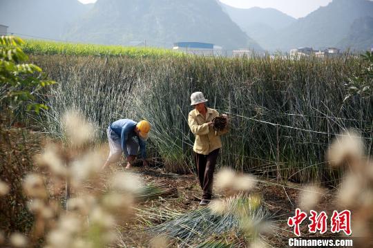 农民在田间收割蔺草。 朱柳融 摄