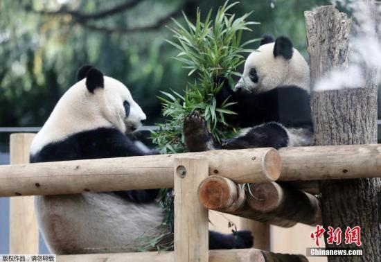 """当地时间2018年11月12日,日本东京,东京上野动物园的熊猫宝宝""""香香""""和妈妈""""真真""""在一起。"""