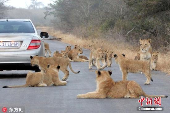 游客违规闯原野看花豹 南非克鲁格国家公园称将重罚