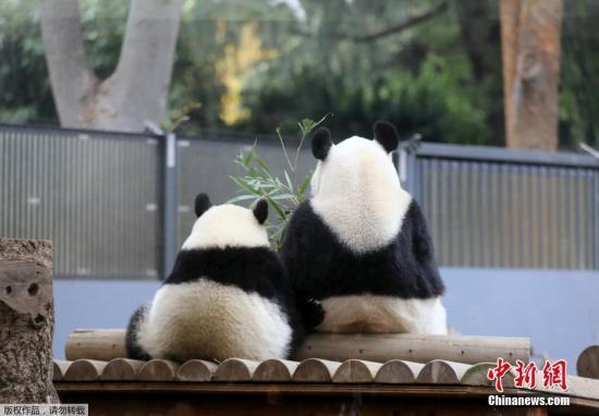 """资料图:日本东京,东京上野动物园的熊猫宝宝""""香香""""和妈妈""""真真""""在一起。"""