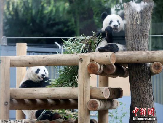 """当地时间2018年11月12日,日本东京,东京上野动物园的熊猫宝宝""""香香""""和妈妈""""真真""""在一起。为给将来的独立生活做准备,旅日大熊猫宝宝""""香香""""将于11月13日起尝试与妈妈""""真真""""分开生活, 12日是这对母女最后一次共同活动一整天。同日,日本上野动物园公开了母女俩享受亲子时光的温馨场景,香香和妈妈""""真真""""悠闲地啃食着竹子,时而相对而坐,时而并排依偎,场面煞是有趣。"""
