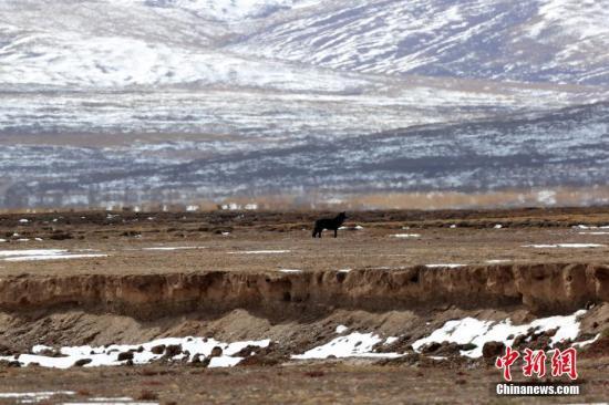 资料图为调查队员在三江源国家公园黄河源园区拍摄到的黑狼画面。记者 李理 摄