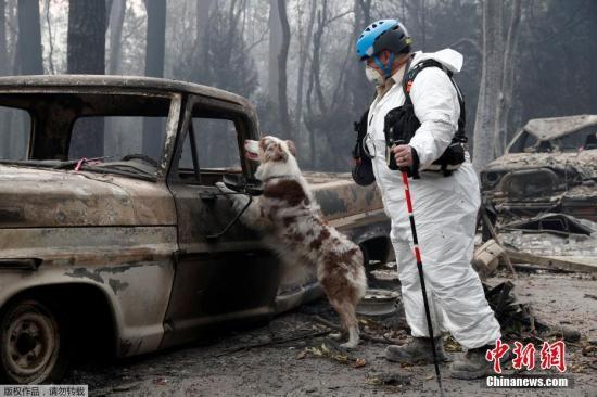 资料图:美国加州天堂镇,工作人员和寻尸犬在被火烧毁的社区寻找人类遗骸。