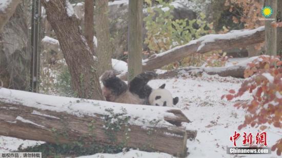 当地时间11月15日,美国纽约、华盛顿、费城等地迎来入冬以来的第一场降雪,首都华盛顿更是自1995年以来首次在11月份迎来降雪,鹅毛大雪纷飞天地白茫茫一片。图为旅美大熊猫在雪中玩耍。(视频截图)