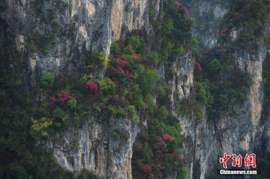 11月17日,三峡库区重庆巫山神女景区内漫山遍野的树叶五彩斑斓。  陈超 摄
