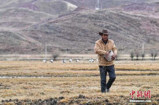 西藏林周县野保员顿珠次仁为越冬黑颈鹤喂食。<a target='_blank' href='http://www-chinanews-com.jzxdzc.com/'>中新社</a>记者 何蓬磊 摄