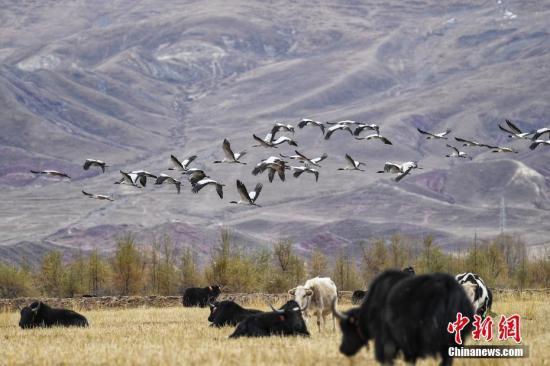 11月16日,黑颈鹤飞抵拉萨河谷越冬。黑颈鹤是高原特有鹤类,国家一级重点保护野生动物。<a target='_blank' href='http://www-chinanews-com.jzxdzc.com/'>中新社</a>记者 何蓬磊 摄