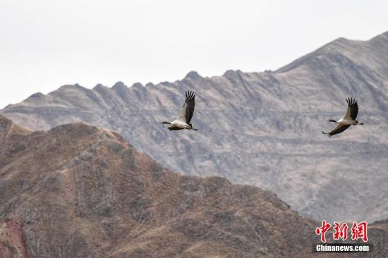 西藏是世界上最大的黑颈鹤越冬和繁衍地。<a target='_blank' href='http://www-chinanews-com.jzxdzc.com/'>中新社</a>记者 何蓬磊 摄