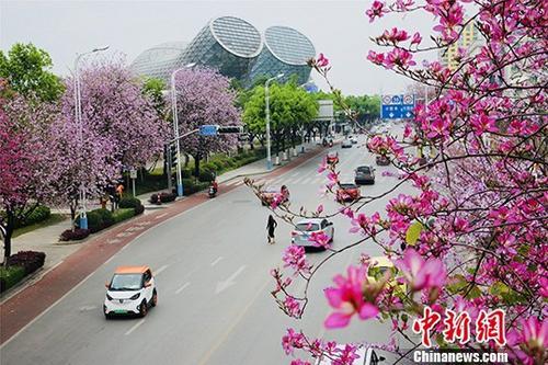 图为每年4月,柳州呈现出花开满城的景色。(资料图片)记者