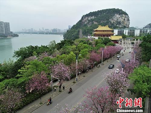 图为每年4月,柳州呈现出花开满城的景色。(资料图片)中新社记者 王以照 摄