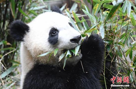 旅奥大熊猫双胞胎回到中国大熊猫保护研究中心