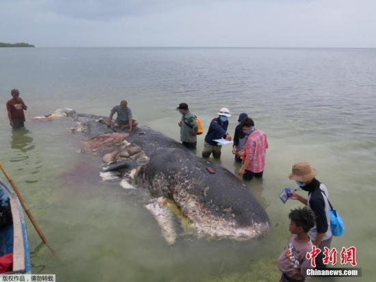 Dead sperm whale stranded in Indonesia's beach ingests over 1,000 pieces of plastic