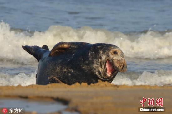 资料图:摄影师大卫(Dave Brotton)在英国诺福克郡Horsey海滩拍摄一头海豹。图片来源:东方IC 版权作品 请勿转载