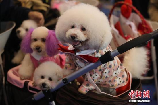 资料图:宠物狗。<a target='_blank' href='http://www-chinanews-com.zjhllc.com/'>中新社</a>记者 泱波 摄