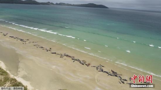 原料图:当地时间2018年11月25日,新西兰斯图尔特岛,据外媒报道,新西兰政府称,有众达145条鲸鱼在该国南部斯图尔特岛搁浅物化亡。据报道,别名登山者于24日发现了这群搁浅鲸鱼,那时它们中大约折半已经物化亡。考虑到其他鲸鱼的情况,添之鲸鱼搁浅的地点偏远,人员物力难以进入,政府决定对余下存活的鲸鱼实走稳定物化。