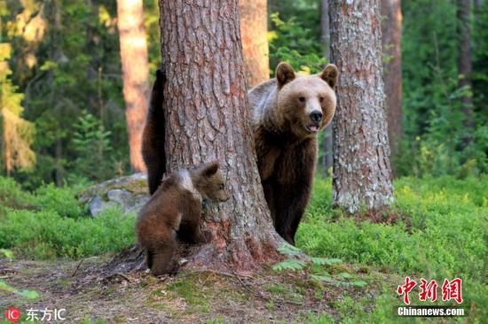 資料圖:棕熊。圖片來源:東方IC 版權作品 請勿轉載