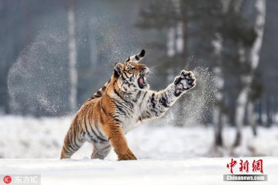 资料图:自由在雪中玩耍的老虎。图片来源:东方IC 版权作品 请勿转载