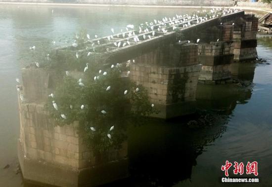 资料图:福州闽江老桥墩上白鹭成群。 <a target='_blank' href='http://www-chinanews-com.0751fy.com/'>中新社</a>记者 王东明 摄