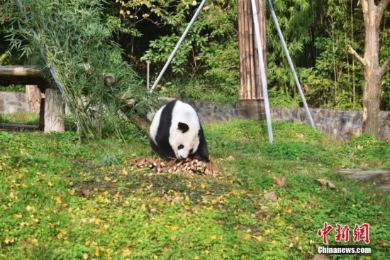 """海归大熊猫""""高高""""在新家玩耍。 李传有 摄"""