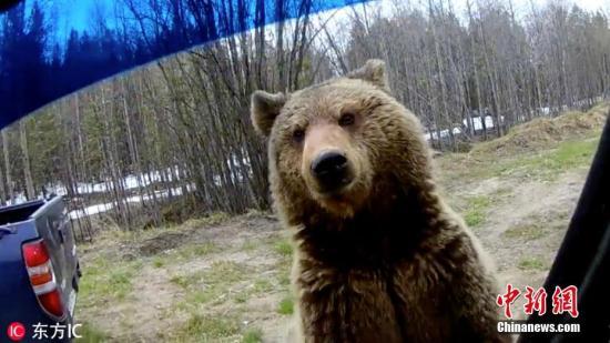 资料图:一头棕熊大摇大摆地在俄罗斯某停车场内觅食。图片来源:东方IC 版权作品 请勿转载