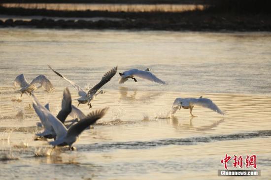近日,青海省贵德县黄河湿地公园内,成群结队的天鹅群在岸边起舞嬉戏。今年,数百只天鹅迁徙到青海省贵德县黄河湿地越冬,为冬季的黄河增添了一份美丽与灵动。赵时春 摄