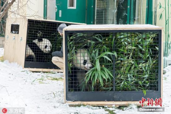 """资料图片:当地时间2018年12月2日,奥地利维也纳,在奥地利出生的2岁大熊猫双胞胎""""福伴""""和""""福凤""""离开维也纳动物园,启程回国。回国后,它们将被安置在成都的新家。 图片来源:东方IC 版权作品 请勿转载"""