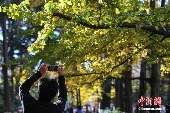 12月4日,参观者在云南大学银杏道上留影。初冬时节,位于昆明的云南大学校园内银杏树叶变黄,吸引民众前来拍照游览。中新社记者 任东 摄