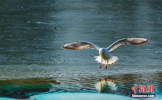 资料图:海鸥觅食。陈治平 摄