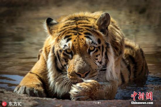 俄罗斯在2018年发现了失踪的母老虎。