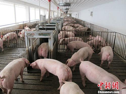 中央农村工作会议:要加快恢复生猪生产