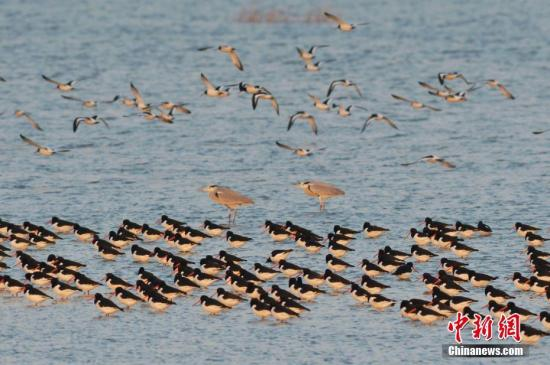 材料图:留鸟群。 a target='_blank' href='http://www.chinanews.com/'种孤社/a收 王海滨 摄 图片滥觞:CNSPHOTO