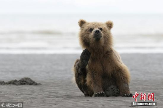 近日,英国防止虐待动物协会(RSPCA)青年摄影奖揭晓。英国保护动物组织RSPCA自1990年起,一直举办RSPCA Young Photographer Awards摄影比赛,旨在让18岁以下的青少年摄影爱好者参与。图为15岁的Will Jenkins拍摄的一只棕熊在海滩上挠痒痒。图片来源:视觉中国