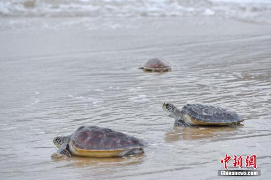 资料图:海龟。a target='_blank' href='http://www.chinanews.com/'中新社/a记者 骆云飞 摄
