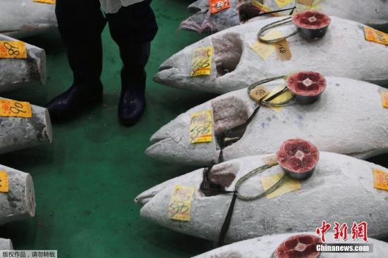 当地时间1月5日,日本东京丰州市场举行新年首场金枪鱼拍卖会,一尾重达278公斤的蓝鳍金枪鱼以3.33亿日元成交,创下历史记录。图为拍卖会上金枪鱼批发商正在检查金枪鱼的质量。