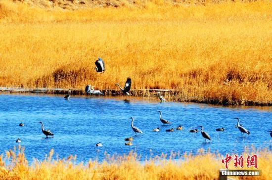 1月9日,在青海省海西州格尔木湿地,摄影爱好者拍摄到野生鸟类苍鹭捕食的画面,苍鹭漫步于湿地,一副悠然自得的神态,吸引了拍客们的瞩目。祝桂福 摄
