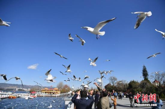 """1月12日,冬日的""""春城""""昆明阳光明媚,气温宜人,众多市民和游客来到滇池边喂鸥赏景,亲近自然。中新社记者 刘冉阳 摄"""