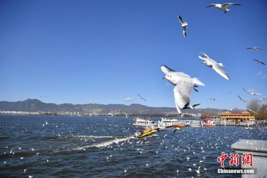 资料图:红嘴鸥在滇池边翱翔。中新社记者 刘冉阳 摄