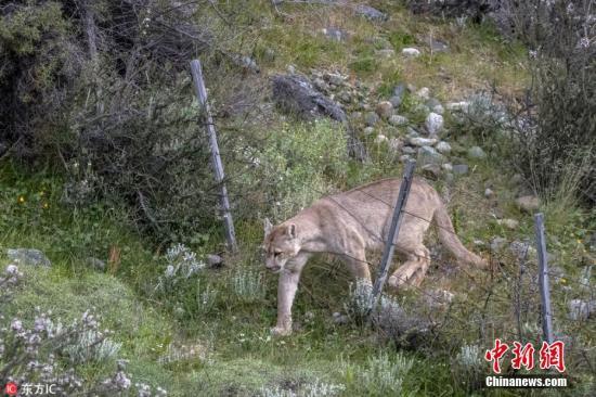 資料圖:美洲獅穿過圍欄。
