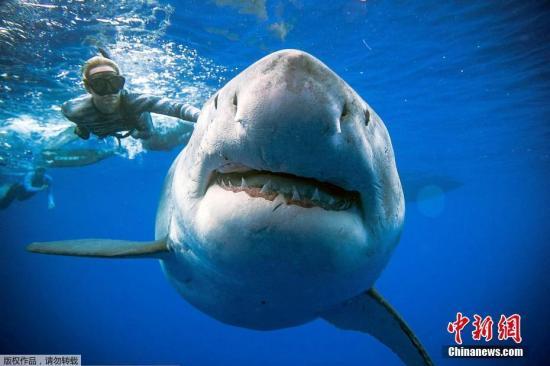 资料图:一只体长将近6米,重约2.5吨的巨大的大白鲨在夏威夷被一名潜水员抓拍到,这条大白鲨被认为是世界上最大的白鲨。
