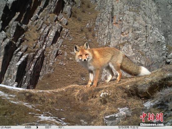 1月21日,三江源国家公园澜沧江园区管委会、山水自然保护中心以及阿拉善SEE基金会三江源中心联合对外发布一组近期生物多样性监测画面,画面中涵盖金钱豹、雪豹、藏雪鸡、马麝、赤狐、兔狲等大量珍稀野生动物。图为红外相机拍摄到的赤狐。山水自然保护中心 供图